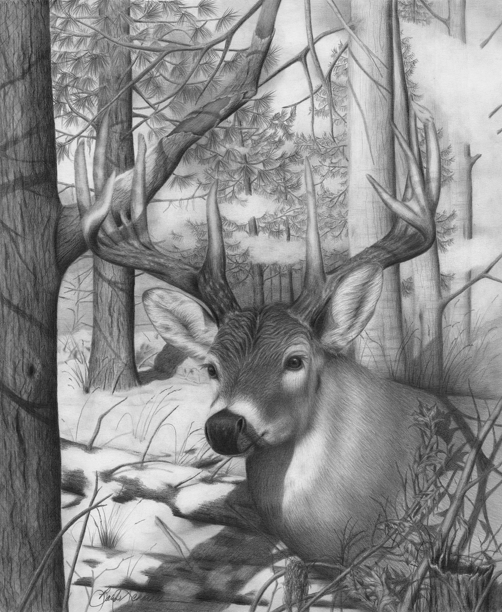 u201cwhitetail phantom u201d original wildlife pencil drawing