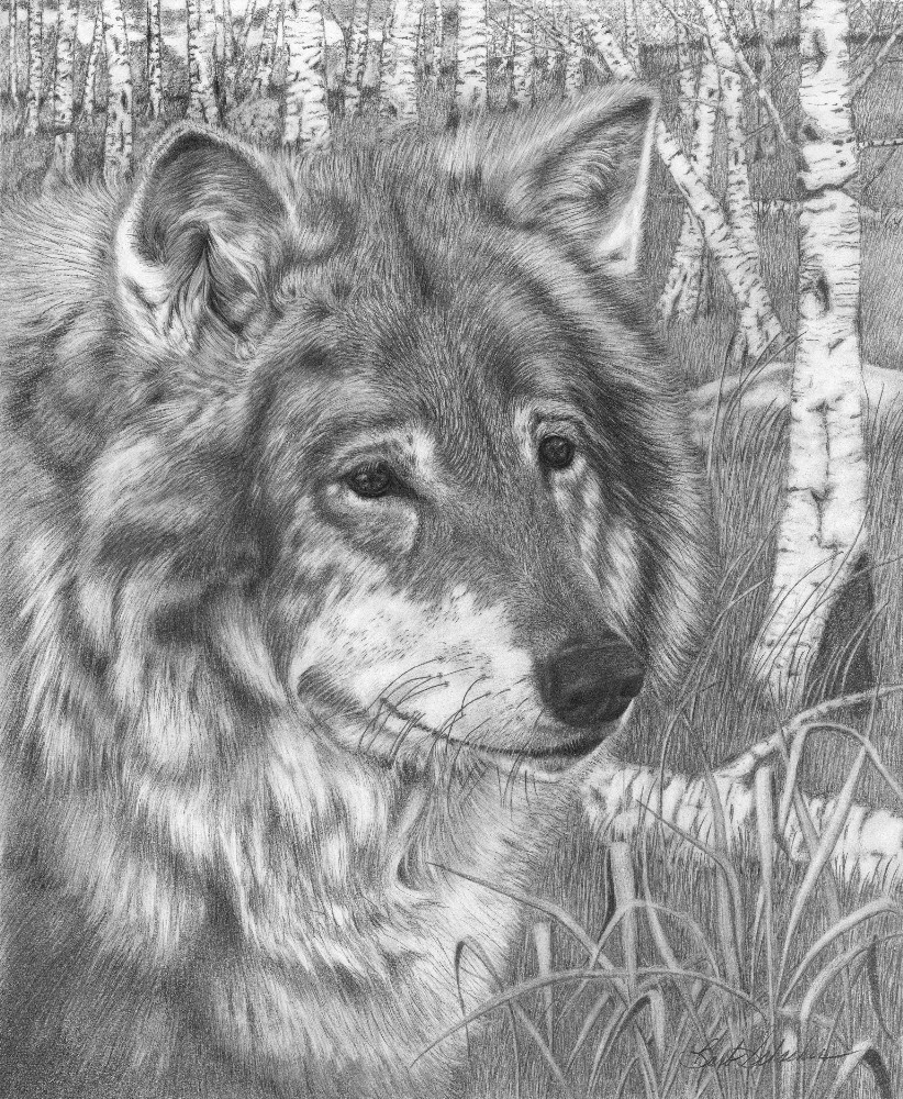 Wolf gaze original wildlife pencil drawing
